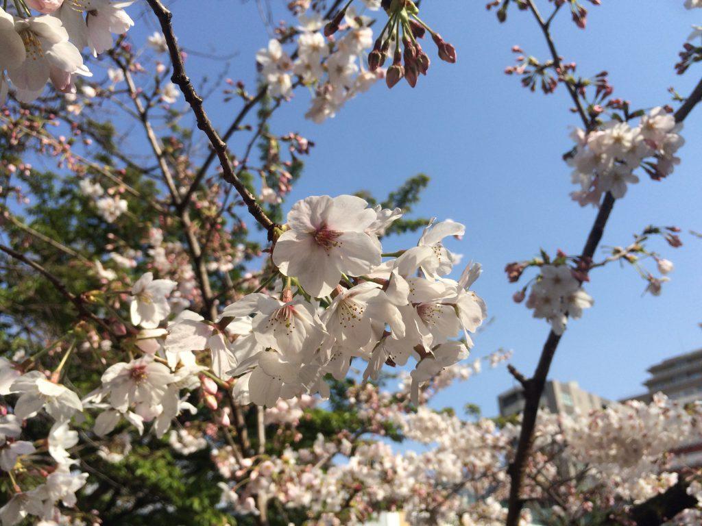 結構咲いてる木もありました。。春ですねえ。
