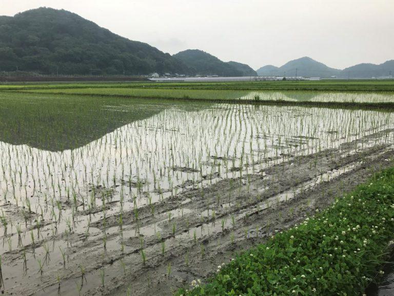 糸島の水田風景