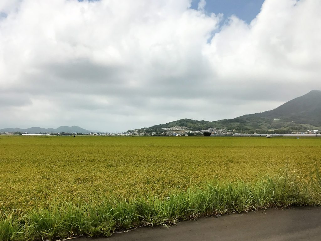 稲が実り始めて、すでに金色になりかけてます。