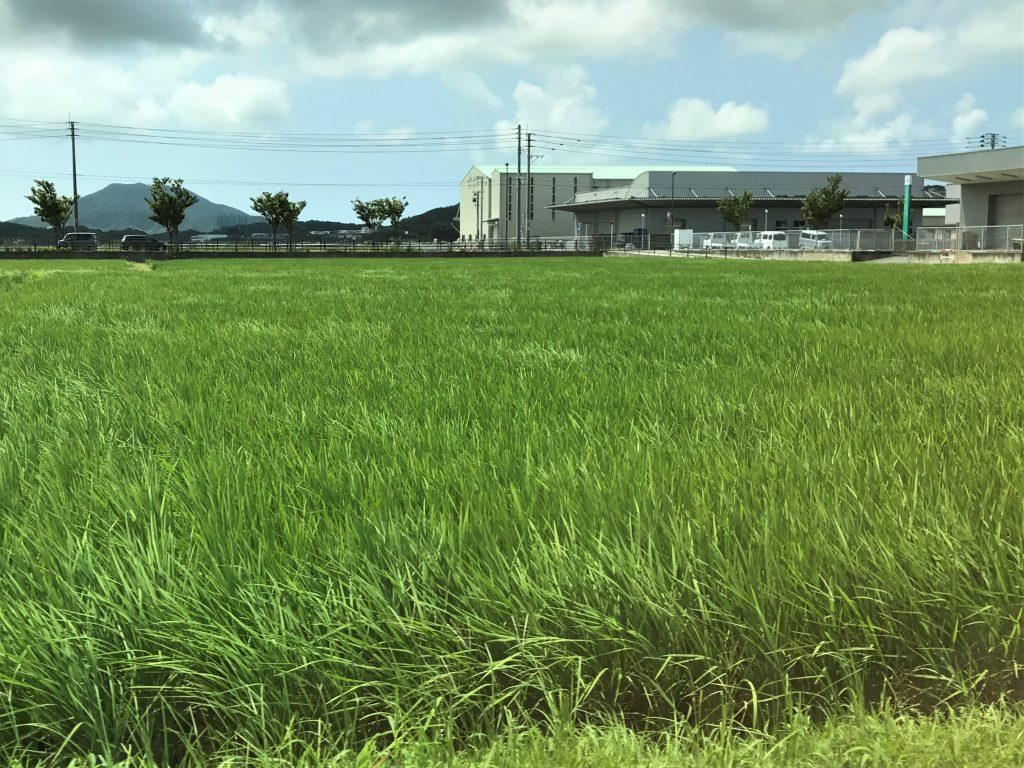 風に揺れる稲が光ってきれいです。