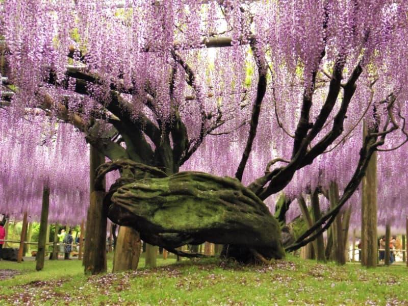 河内藤園の藤の根本