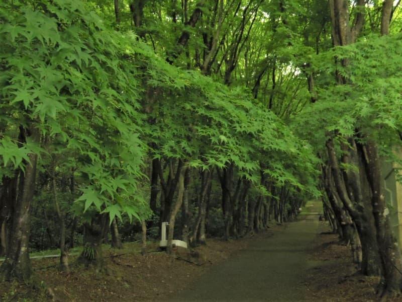 河内藤園のモミジの若葉