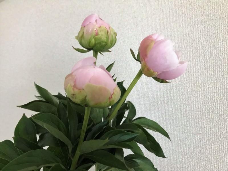 糸島花生活 芍薬