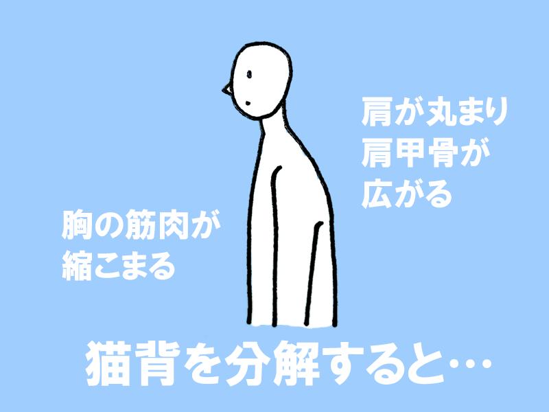 図:猫背を分解すると、肩が丸まり肩甲骨が広がる、そして胸の筋肉が縮こまる