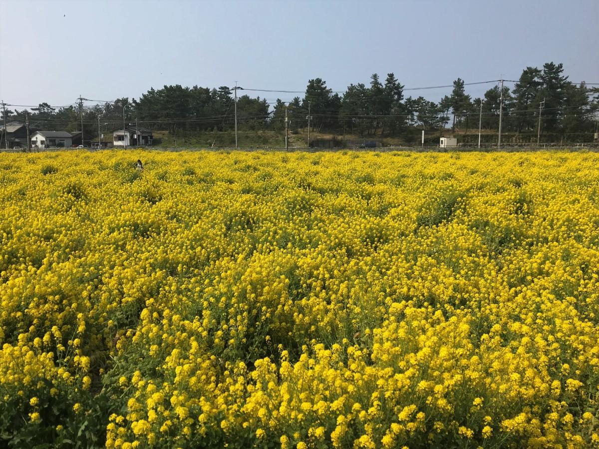 写真:福ふくの里 菜の花畑
