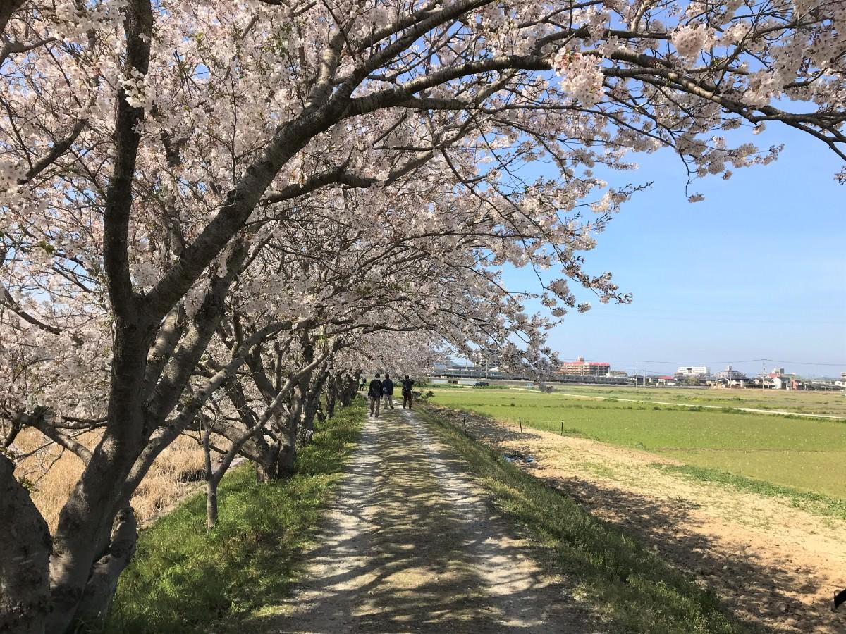 写真:糸島 池田川ぞいのさくら