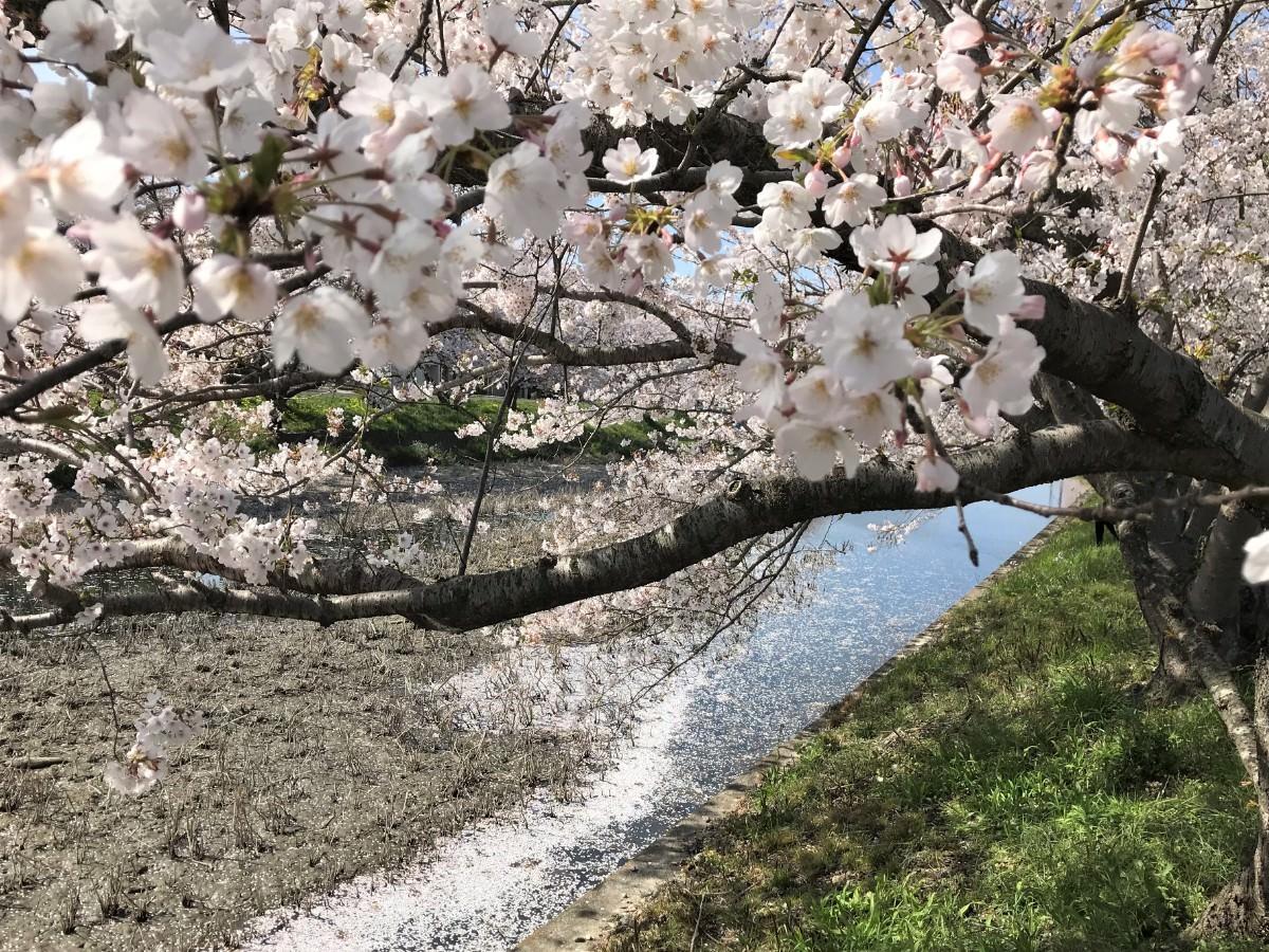 写真:桜と花筏