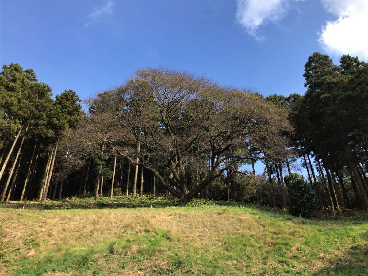 写真:福岡糸島 そば処山崎 一本桜