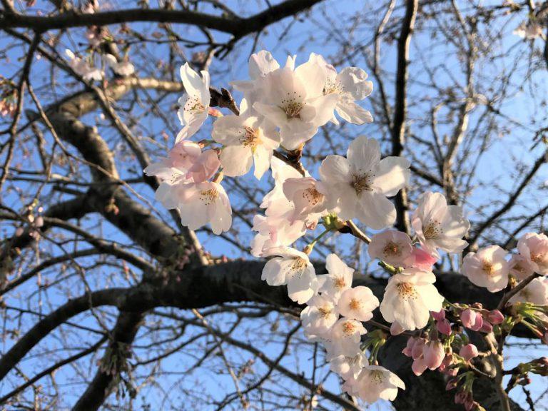 写真:咲き始めの桜