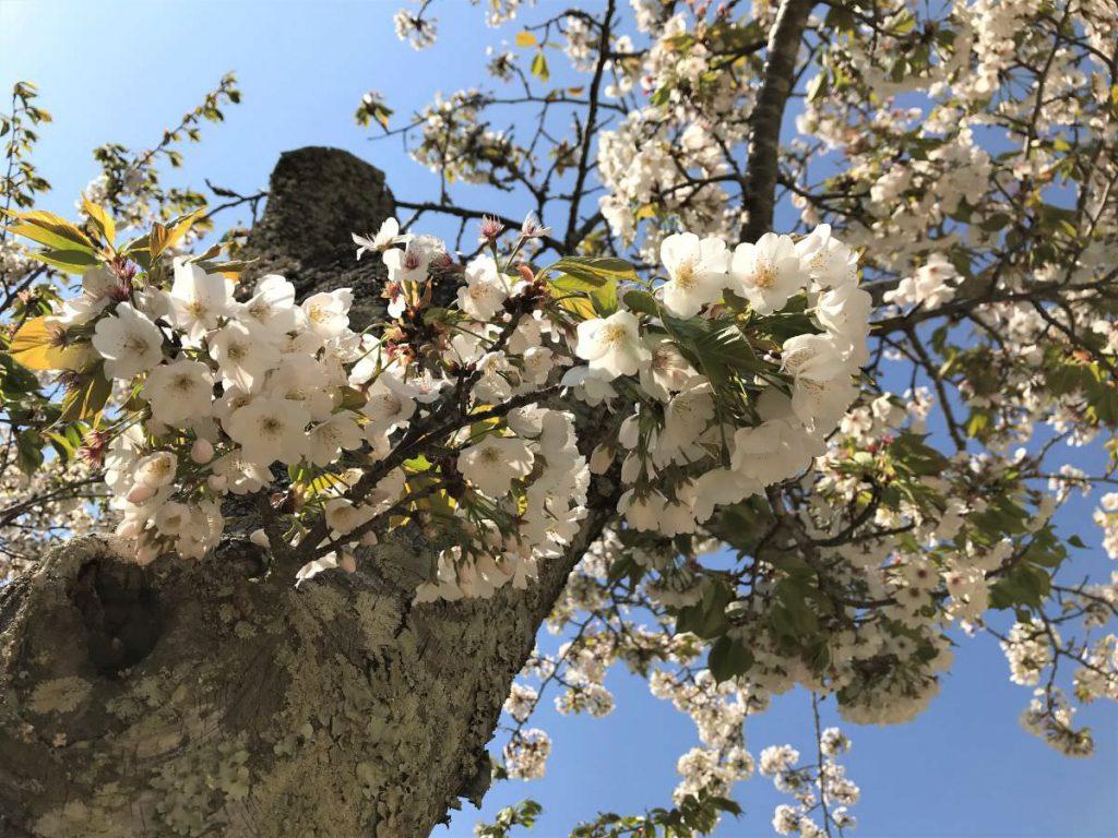 写真:佐賀県唐津市 百年桜のまわりにあるサトザクラ