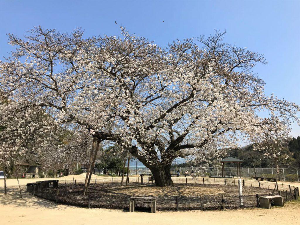 写真:佐賀県唐津市 百年桜