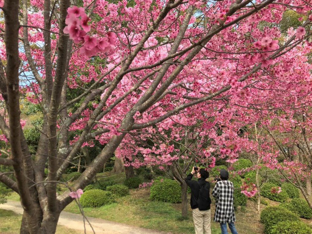 写真:佐賀県小城市 小城公園 河津桜