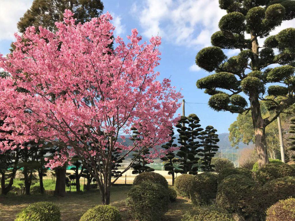 写真:佐賀県小城市 小城公園 河津桜と刈り込まれた植栽