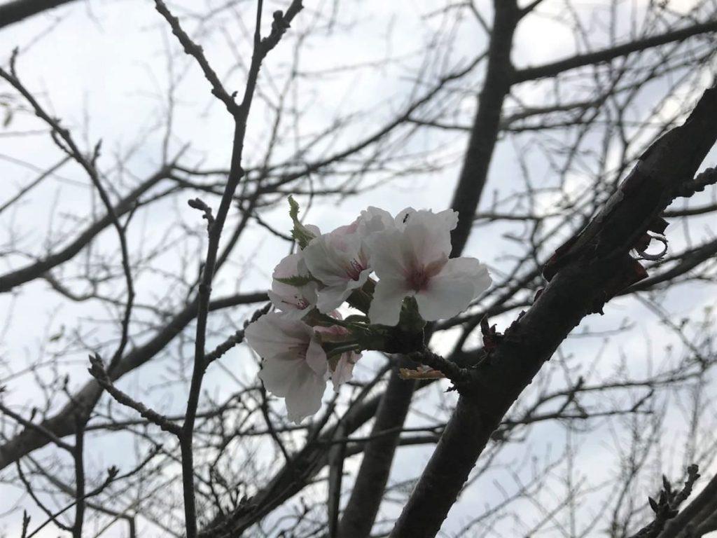 写真:季節外れの桜が咲いてました