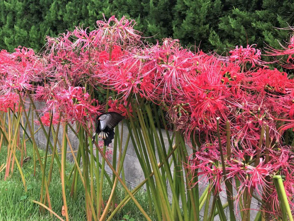 写真:彼岸花にカラスアゲハ