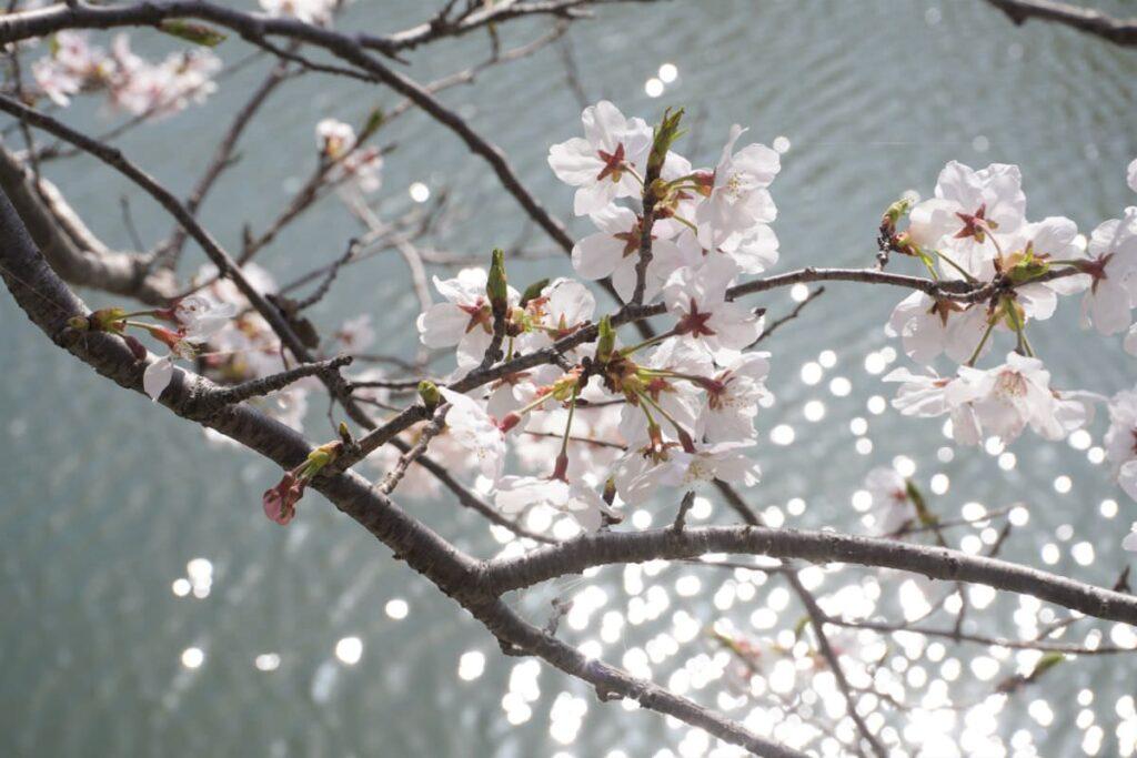 写真:福岡糸島 善福寺川沿いの桜並木