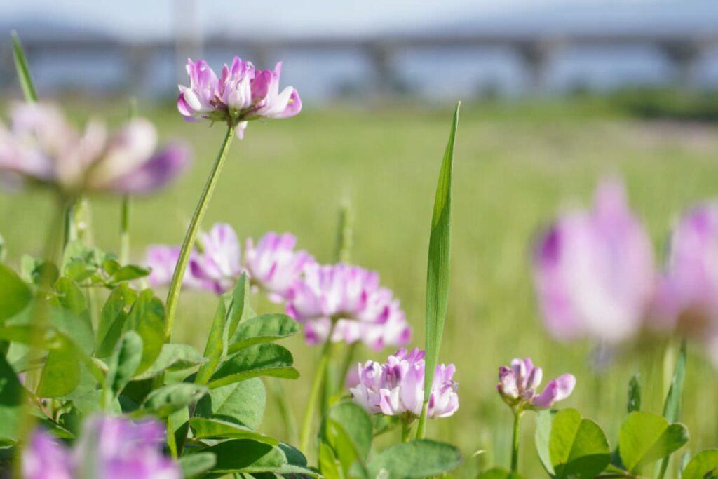 写真:福岡糸島 善福寺川沿いのたんぼの蓮華