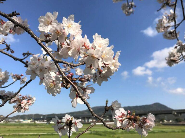 写真:福岡糸島 善福寺川沿いの桜