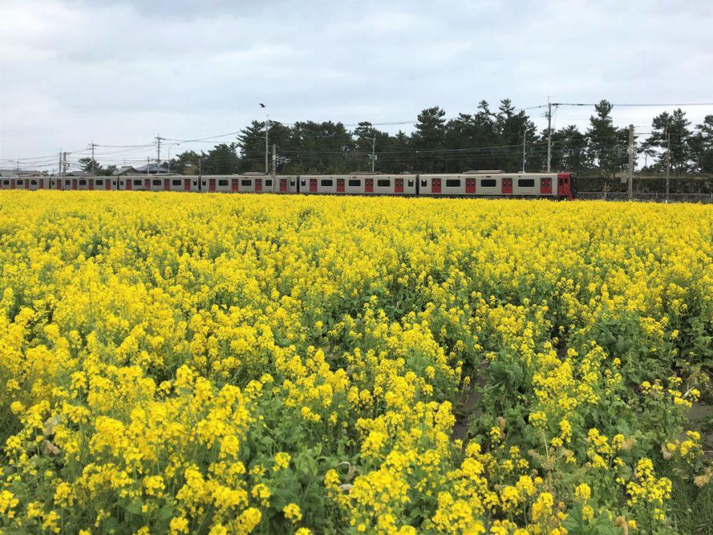 写真:福ふくの里の菜の花畑と筑肥線