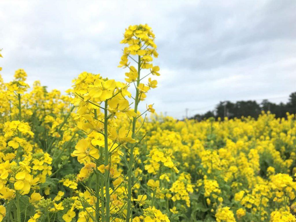 写真:福ふくの里の菜の花畑