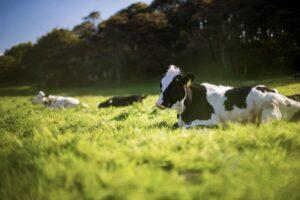 写真:放牧中の牛イメージ