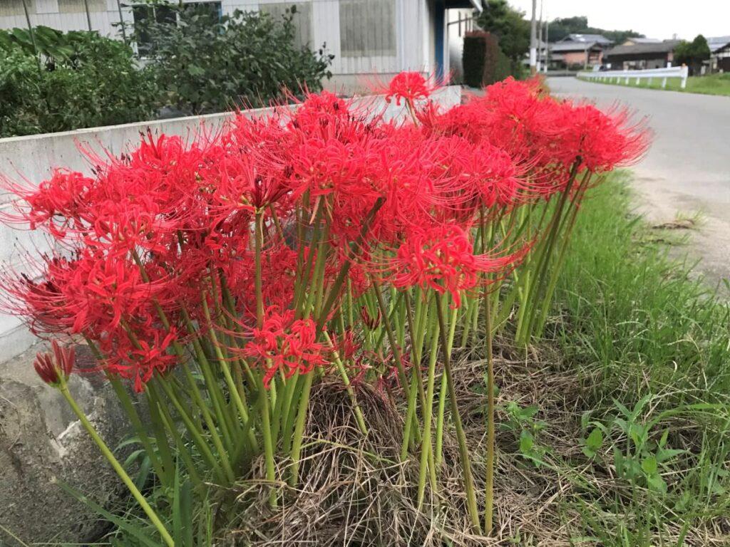 写真:糸島の彼岸花
