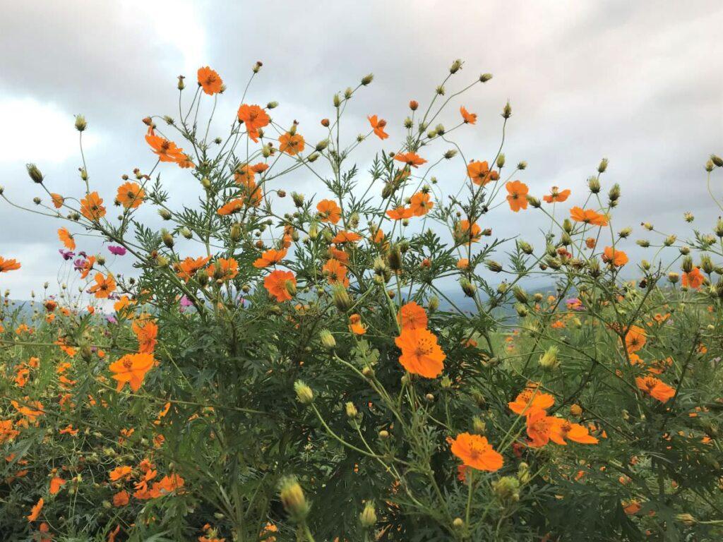 写真:オレンジ色のコスモス